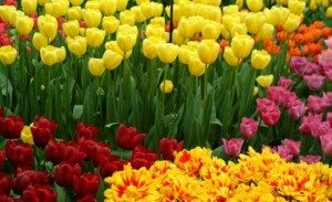 Tulips - cropped